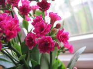 长寿花的浇水及配土要求