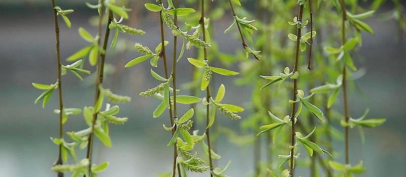 柳树生长过程图片