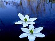 水生花卉的特点介绍
