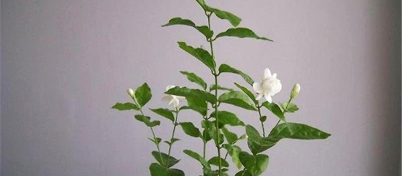 茉莉花盆栽的换盆及浇水方法