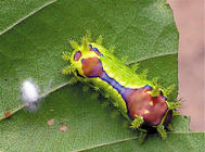 黃刺蛾的防治方法