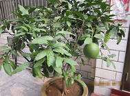 柚子黃龍病的預防方法