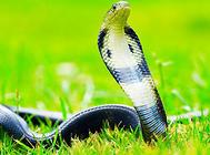 如何饲养眼镜蛇