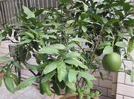 柚子盆栽的注意事项