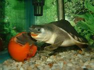 猪鼻龟特殊的繁殖方式