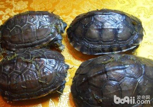 水龟冬眠前的准备