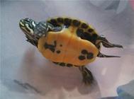 夏季如何维持养龟水质?