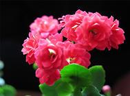 长寿花究竟有多长寿