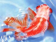 金鱼养殖中水温的控制