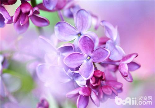 紫色丁香花的传说及花语