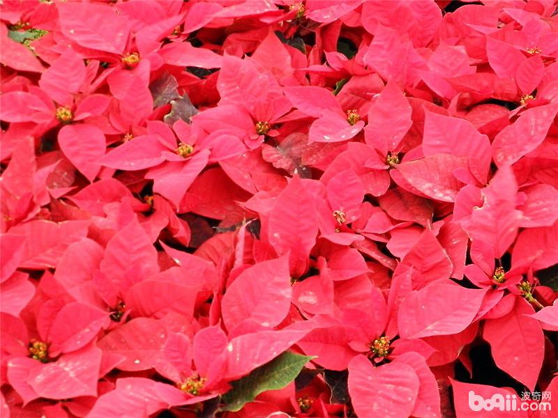 圣誕花的傳說及花語