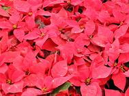 圣诞花的传说及花语