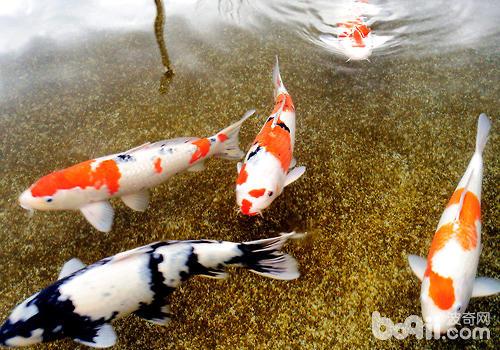 """锦鲤被称为""""水中活宝石"""""""