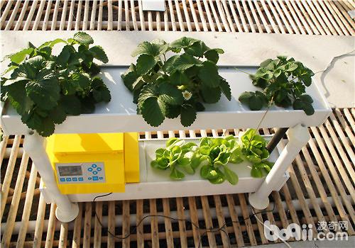 秋季阳台适合播种哪些蔬菜