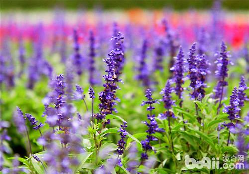 薰衣草扦插繁殖的注意事项