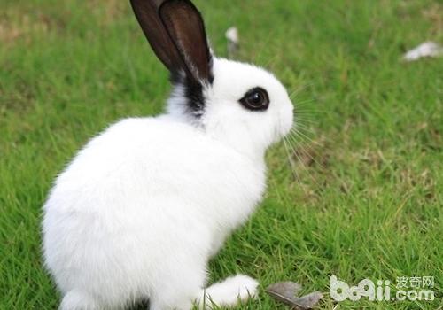 兔子有哪些行为特点