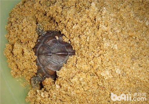 草龟冬眠-小龟为什么不爱动呢