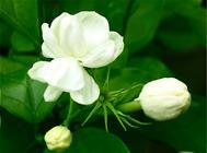盆栽茉莉花的六种修剪方法