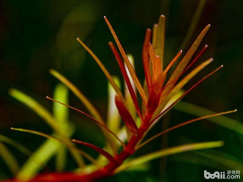 在水族养殖的水草选择上,宫廷草,一直以来都是一种我们热衷的观赏水草,宫廷科水草有不同的种类和颜色,有绿色、紫色还有红色的等等,不同种类的宫廷科水草饲养方法不同,下面就来介绍一下不同种类宫廷科水草的饲养方法。 一、纯绿宫廷 纯绿宫廷,有别于正宗绿宫廷,正宗绿宫廷在强光下,叶色会发红,最强时是在强光,强铁肥的情况下基本顶端的叶子全部发红,所以很多人很易把正宗绿宫廷养成差不多像红宫廷,而纯绿宫廷则不同,无论强光,强铁肥,它依然保持纯绿本色,不受强光影响,是绿色草缸绝佳品种,叶色优美。养殖方法与其他宫廷无异。 作
