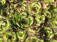 长生草的花盆及配土要求
