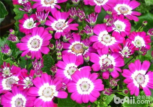 一年生花卉常用的繁殖方法