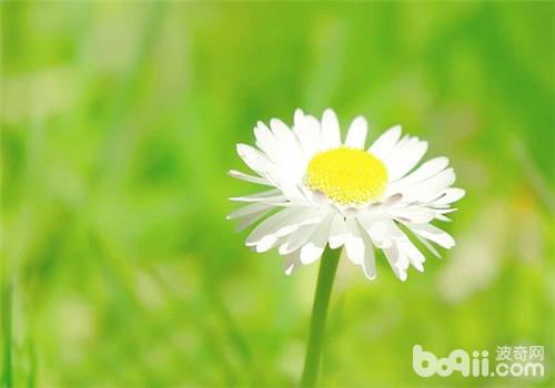 雏菊的播种及养护管理