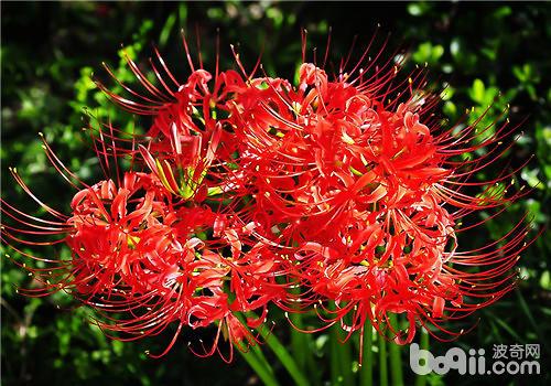 彼岸花的日常应用|观花植物栽培-波奇网百科大全
