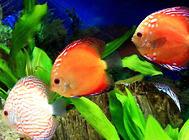 水族养殖中一些耐高温的鱼类