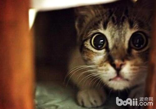 猫伪狂犬病的症状及防治