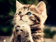 猫咪喂食的注意事项