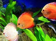 金鱼水质的调整方法