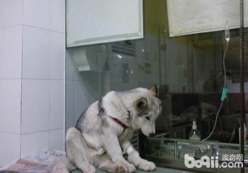 狗狗补液的方法与途径