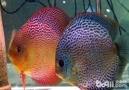 七彩神仙鱼的繁殖探秘
