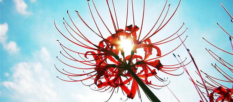 彼岸花从名字上就能看出这是一个比较悲伤的花卉,而关于彼岸花的传说也有很多。很多人可能都不知道彼岸花长什么样,就让小编来为你介绍一下关于彼岸花的花语,一起来了解这种无法言语的悲伤。  彼岸花   中国优美纯洁   日本悲伤回忆   朝鲜相互思念,又有分离、伤心之意   而且根据花色的不同,它们所代表的花语也是不一样的:红色彼岸花有代表无尽的爱情,死亡的前兆,地狱的召唤;白色的岸花代表无尽的思念,绝望的爱情,天堂的来信。   经常看到一句话:彼岸花开开彼岸,奈何桥前可奈何。那么彼岸花开的意思是什