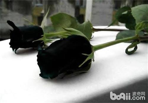 黑玫瑰的花语及特征介绍