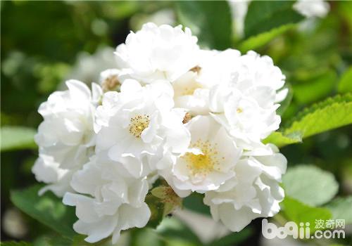 不同颜色蔷薇花的花语介绍