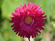 矢车菊的花语是什么