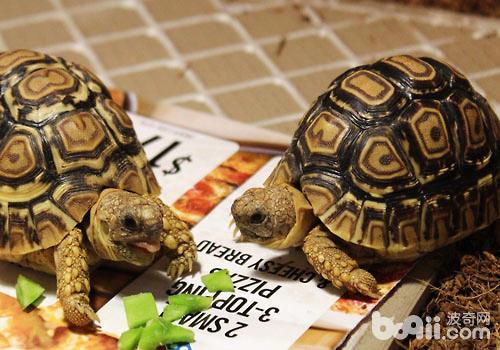 乌龟的选购及挑选方法|爬虫品种-波奇网百科大全