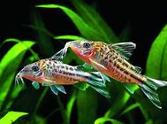 如何防止观赏鱼微生物感染