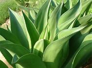 龙舌兰的园林及食用价值