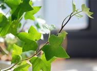 常春藤黄化叶现象的处理方法