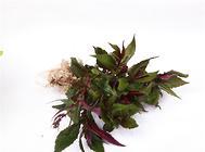 紫背天葵的栽培管理要点