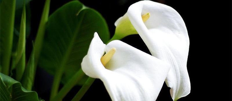 马蹄莲的两种栽培方式