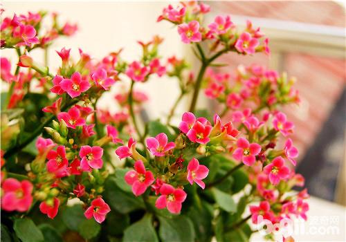 长寿花常见的两种扦插繁殖