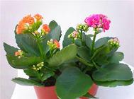 长寿花的外形特征及品种简介
