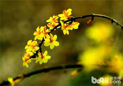 迎春花的扦插繁殖方法