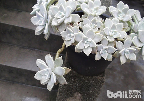 宝石花的品种简介