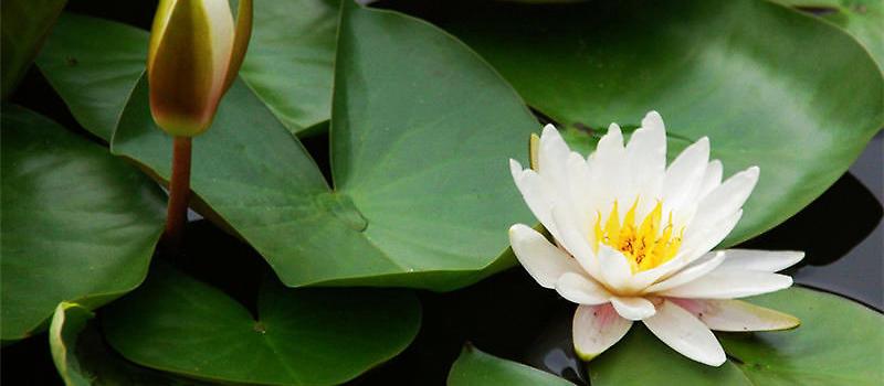 睡莲是水生植物中比较有名的花卉品种,由于睡莲的外形和荷花非常像,所以很多花友或许会分不清楚这两种花卉的区别。现在经过不断培育,睡莲也可以在家中进行栽培了,而现在迷你睡莲是非常火爆的,也是很多花友都非常喜欢的品种。那么睡莲究竟应该如何栽培呢?在栽培过程中又应该注意哪些问题呢?  睡莲   1、花盆:要尽量选择开口向外的,开口向外叶子的会比向内的叶子长的好,盆口越宽的花会越大朵(与盆底大小关系不大),花盆深浅,则影响开花间隔,越深间隔越久。   2、土:尽量选择粘性较高的土,如:粘土、阳明山土。   3、