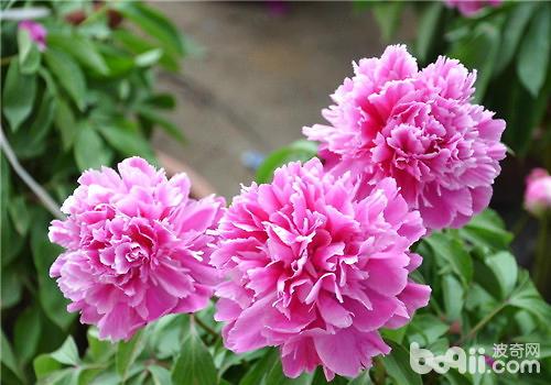 牡丹是我国非常有名的花卉品种,从古代就有很多诗词来描绘牡丹的