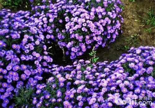 荷兰菊的栽培要点